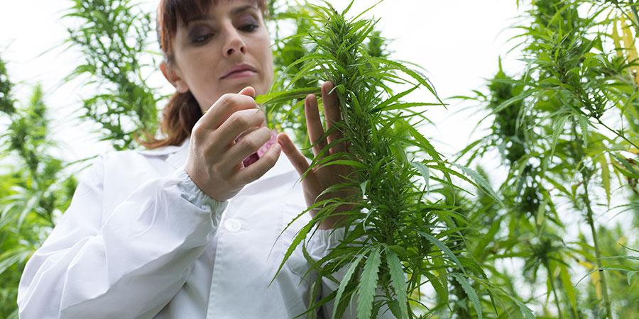 lab tech handling hemp plant leaves. How does the entourage effect work. Buy hemp CBD oil products online USA. terpene entourage effect.